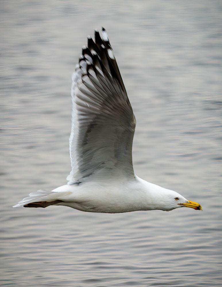 Photo in Animal #bird #flying #gull #water