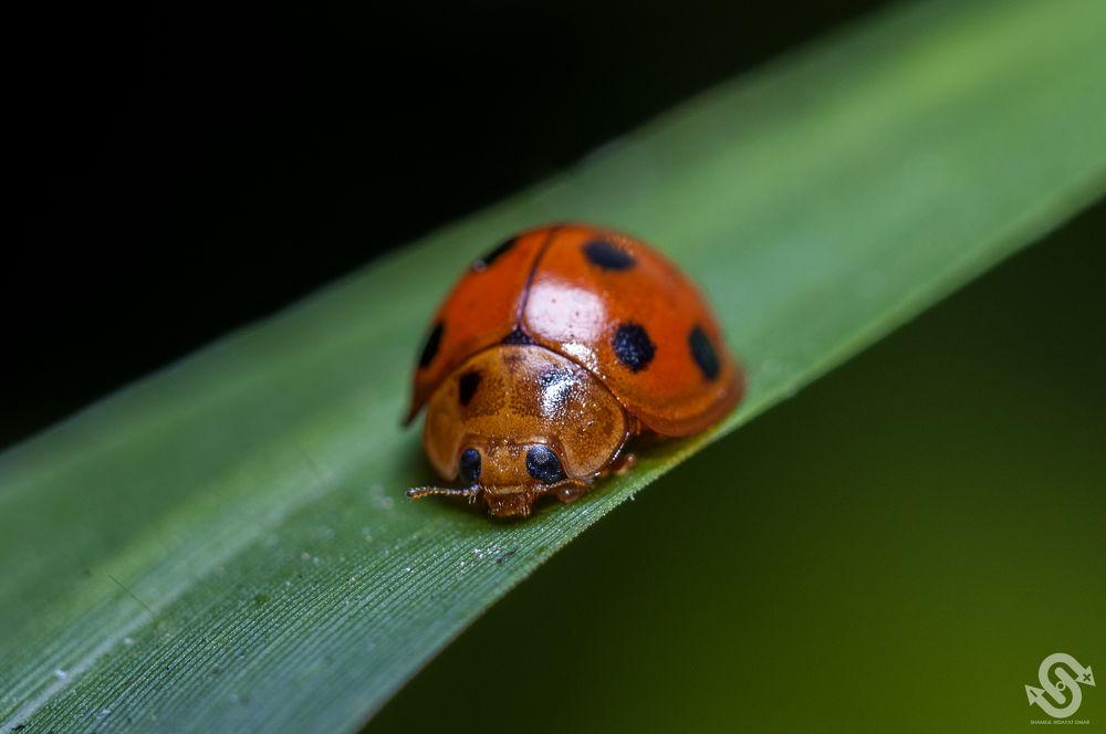 Photo in Macro #malaysia #macro #photography #insect #bug #ladybug #ladybird #ladybeetle #nikon d3 #micro-nikkor 55mm lens #extension tube #shamsul hidayat omar