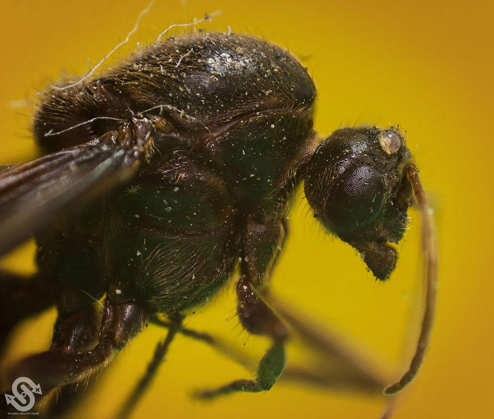 Photo in Macro #malaysia #macro #photography #insect #bug #flying ants #nikon d90 #extension tube #micro-nikkor 55mm lens #reverse lens #shamsul hidayat omar