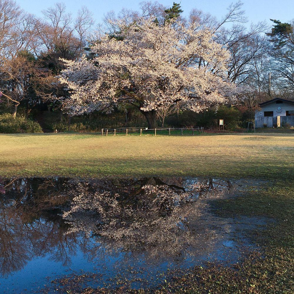 Photo in Landscape #flower #spring #japan