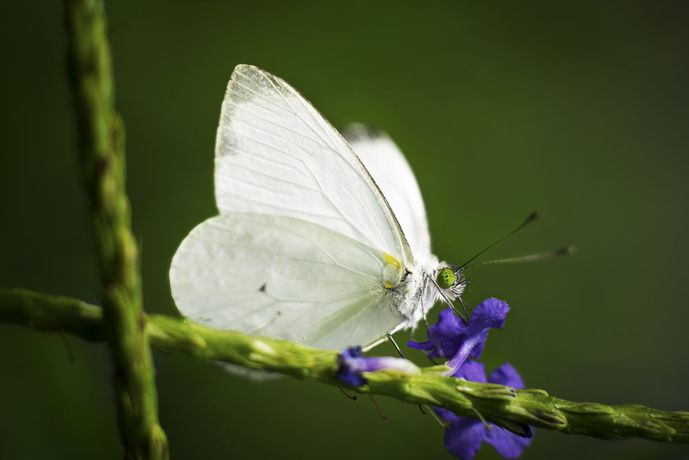 Photo in Macro #butterfly #nikon #nature #nikkor #85mm #kenko #extensiontubes #white #green #macro #alxmurrayphoto