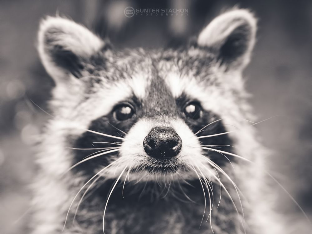 Photo in Animal #raccoon #nose #curious #bw #canon