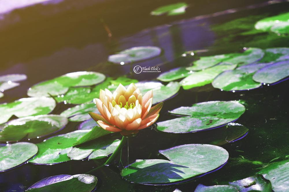Photo in Nature #lotus flower pond