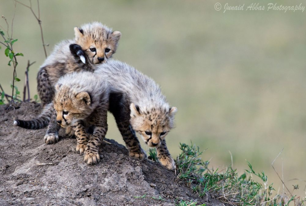 Photo in Animal #cheetah #cubs #cheetah cubs #wildlife #kenya #masai mara