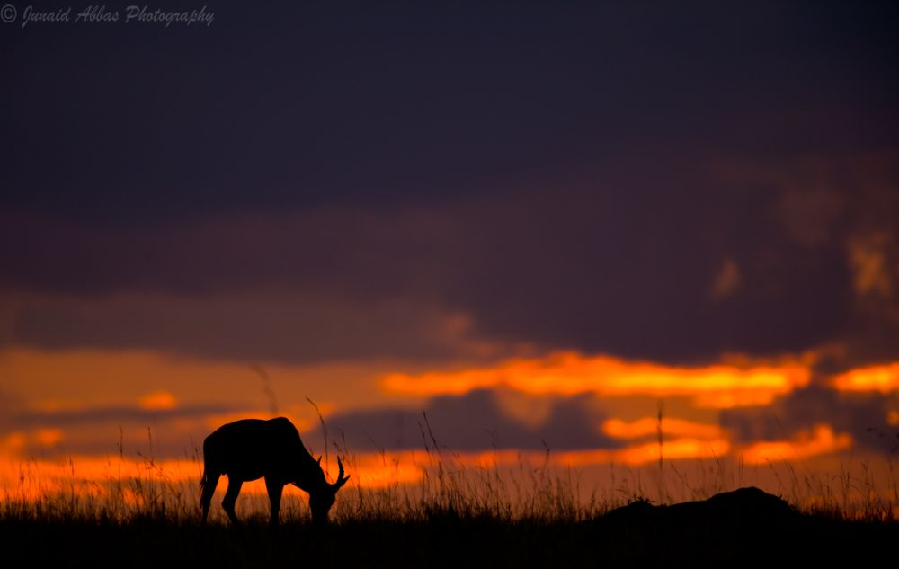Photo in Animal #impala #wildlife #animals #sunset #alonesoul #alone #kenya #masai mara