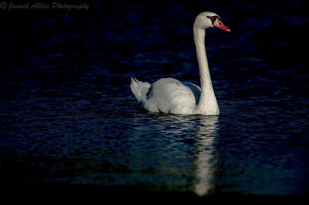 Photo in Animal #swan #white #mute #white swan #mute swan #bird #birds #wildlife #dubai #uae
