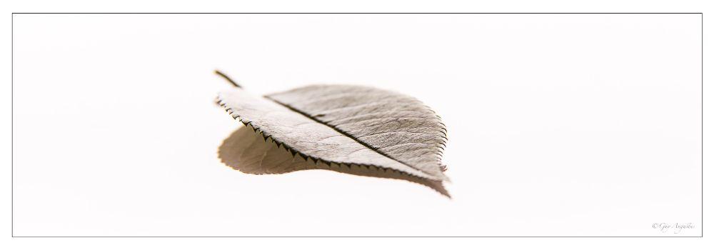 Photo in Still Life #guy augustus #leaf #high key