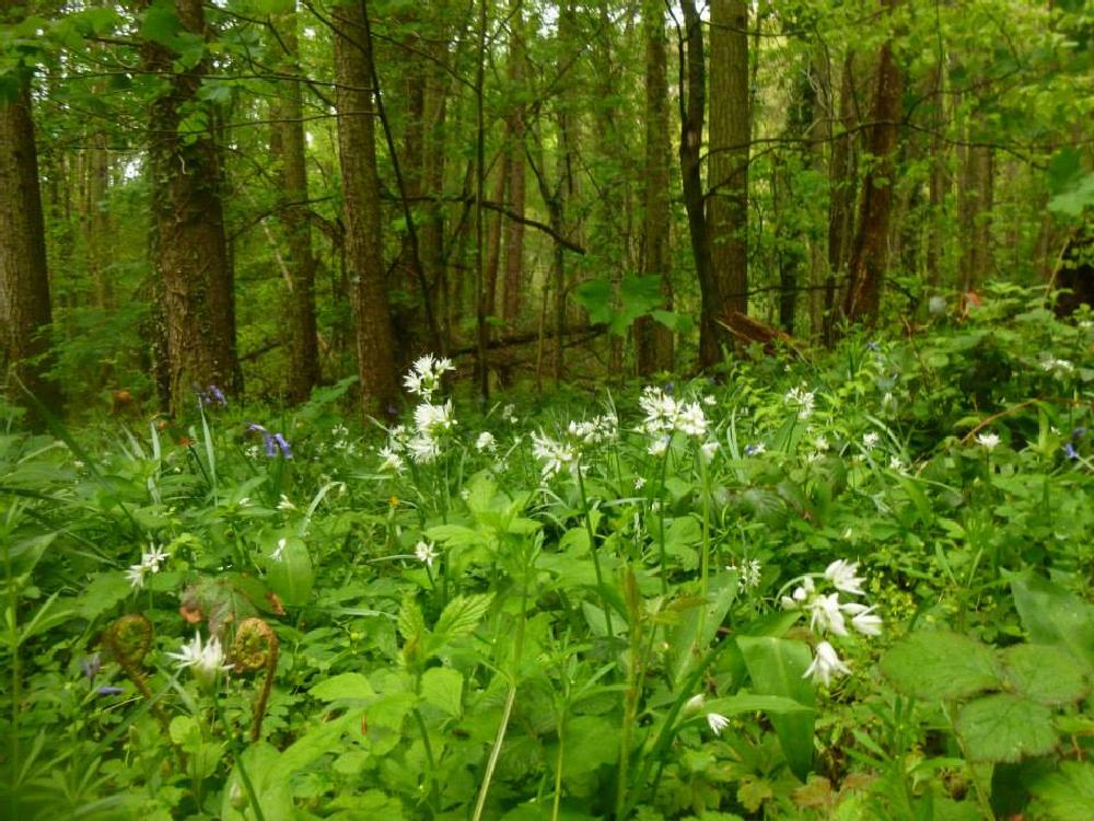 Photo in Nature #wales #flowers #woods #ceredigion