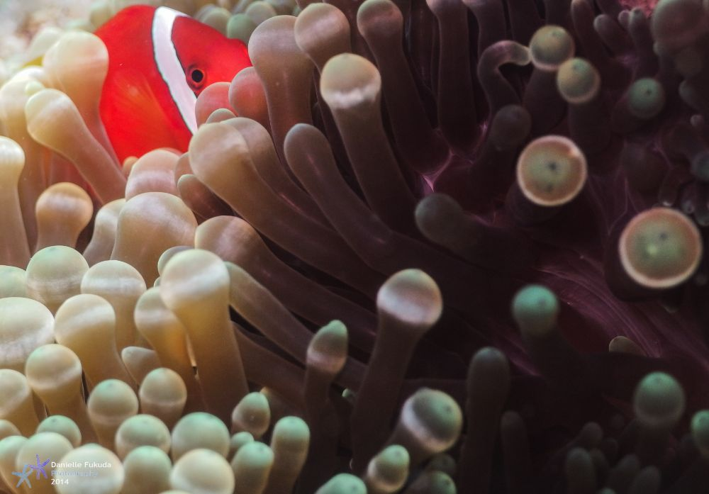 Photo in Underwater #underwater #animal #nemo #clownfish