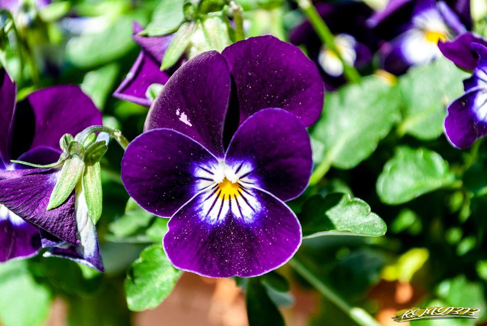 Photo in Nature #flower #fleur #nature #macro #pensée