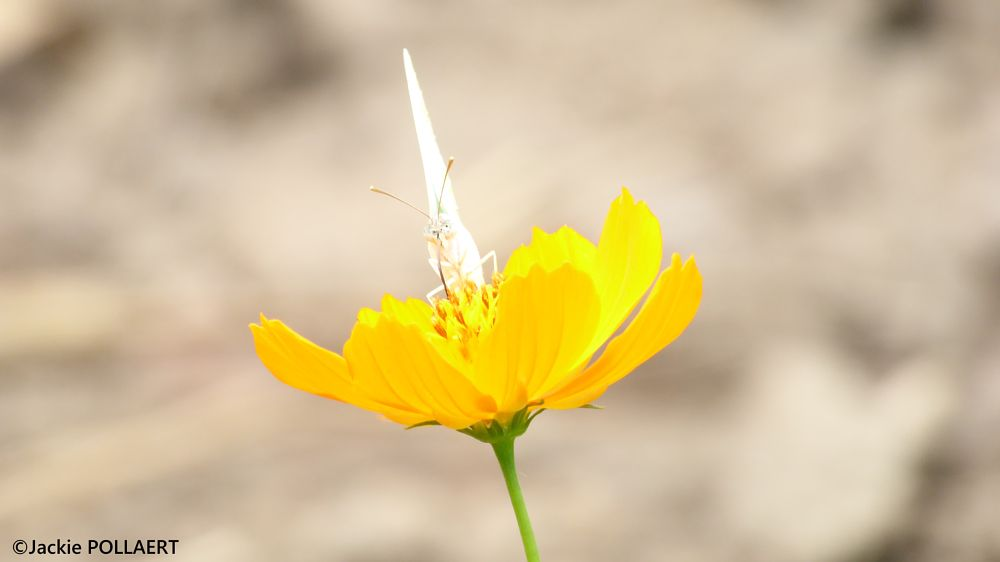 Photo in Macro #papillon #butterfly