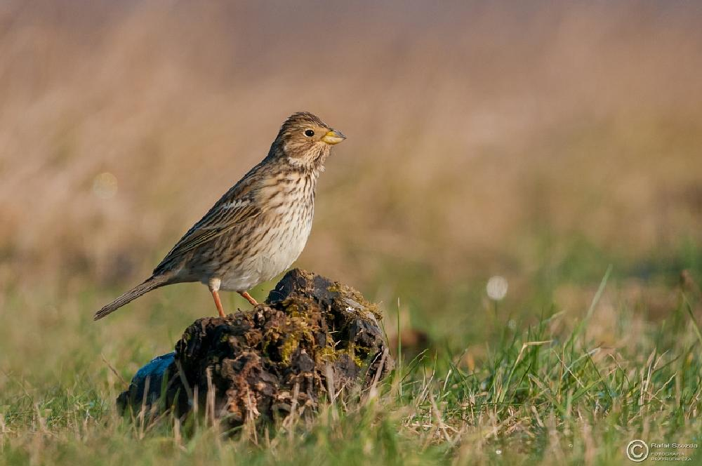 Photo in Nature #birds #nature #nikon #d300s #tamron 150-600 #poland