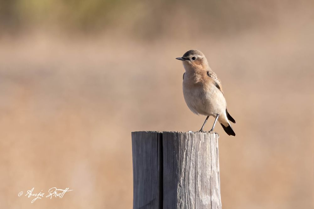 Photo in Animal #northern wheatear #animal #bird #songbird #animal wildlife #animal thems #sitting #animals in the wild #no people #wildlifephotography #photography
