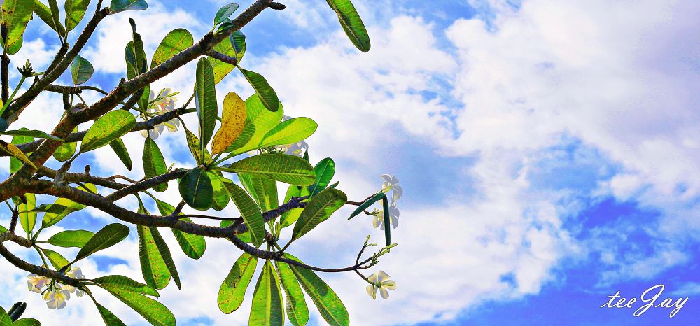 Photo in Nature #frangipanis #flower #sunny #blue skies