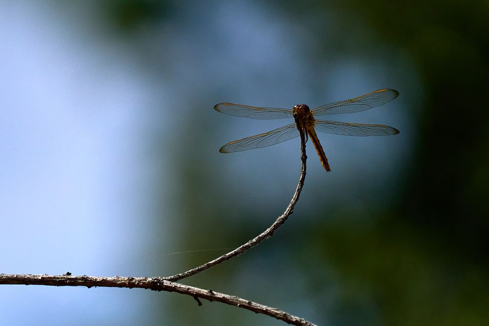Photo in Animal #dragonfly #insect #motionless