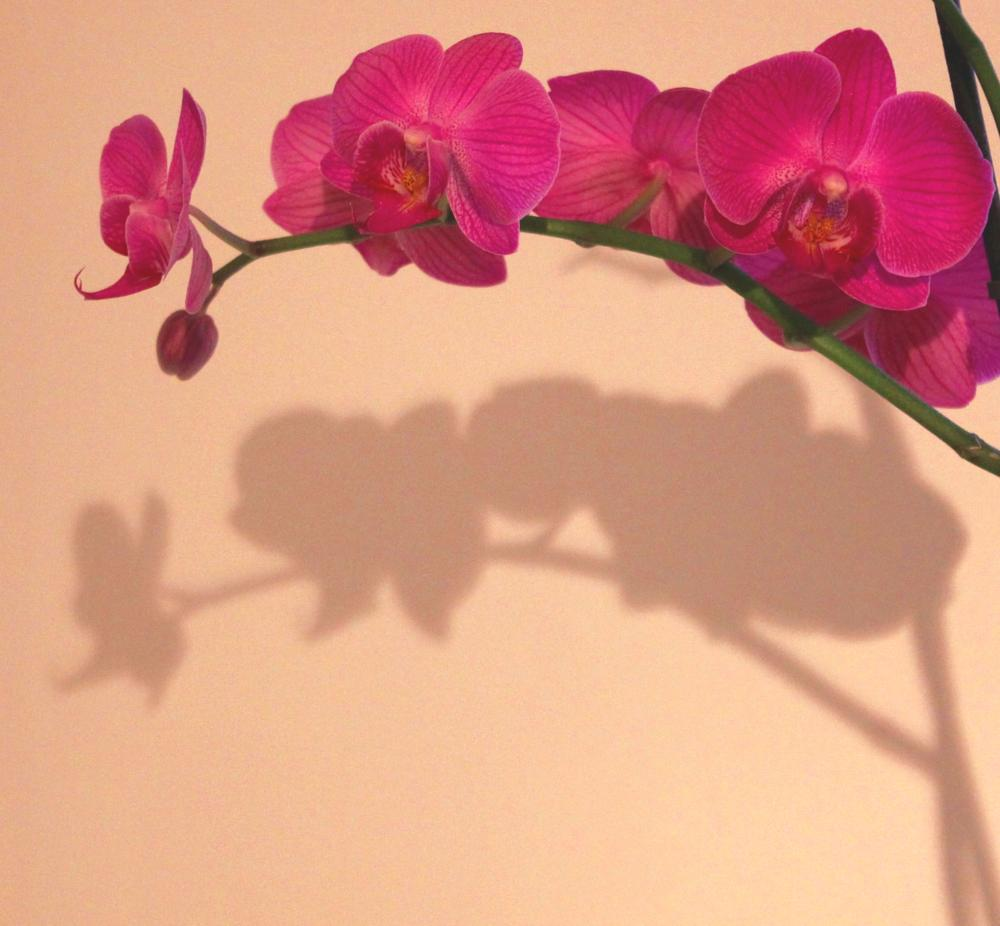 Photo in Nature #orchid #flower #pink #nature #shadow