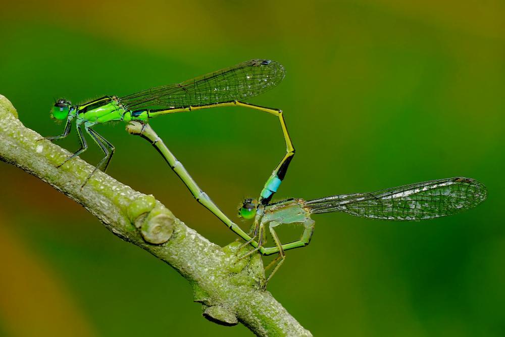 Photo in Macro #dragonfly #damsefly #macro #indonesia #insect #great #amazing #awsome #mate #mating #wild #nature #world