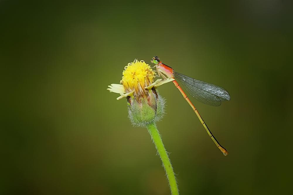 Photo in Macro #damsefly #dragonfly #insect #macro #indonesia #world #wild #nature #art #amazing #great #awsome