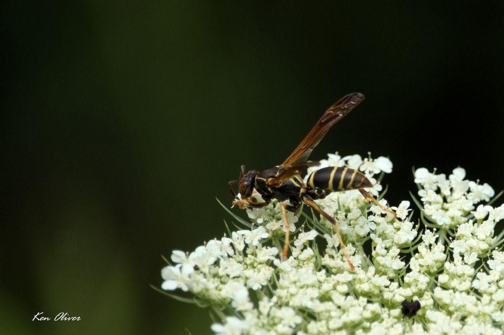 Photo in Animal #animal #hornet #wildlife #nature #flower