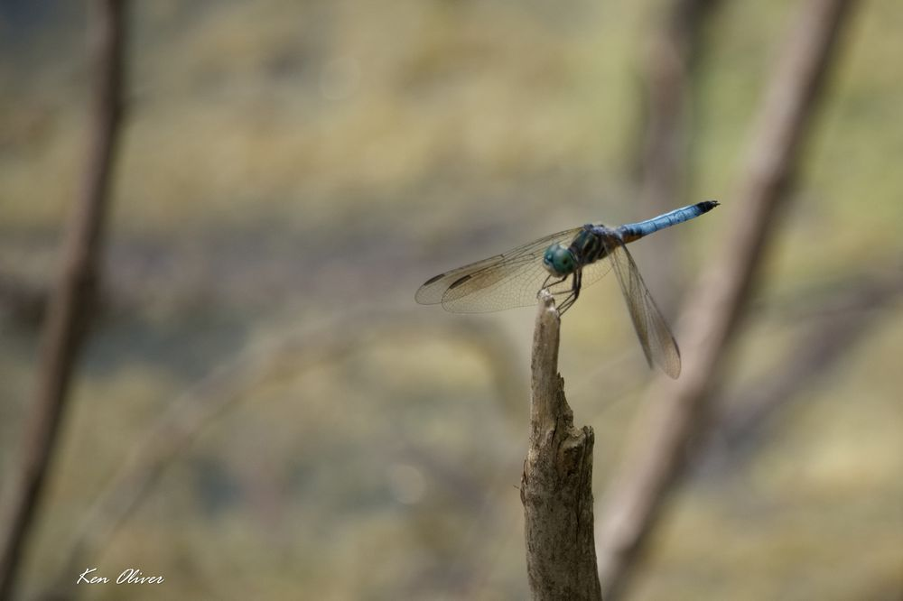 Photo in Animal #animal #dragonfly #wildlife #nature