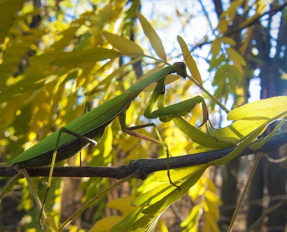 Photo in Macro #mantis religiosa #mantis #insect #nature #sun #autumn #leaf