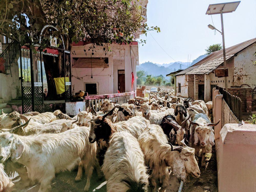 Photo in Animal #goat #lamb #herdsman #animal #winter #shepherd #moneyseoh