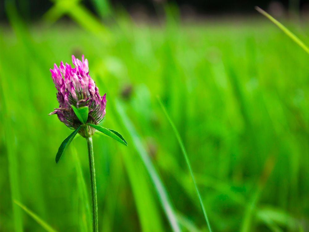 Photo in Nature #flower #clover #pink #green #separation #depthoffield #spring