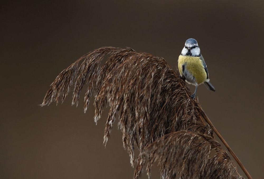 Photo in Animal #blue tit #bird #birds #color #colors #wildlife #nature #naturelife #light #reeds #beauty #beautiful
