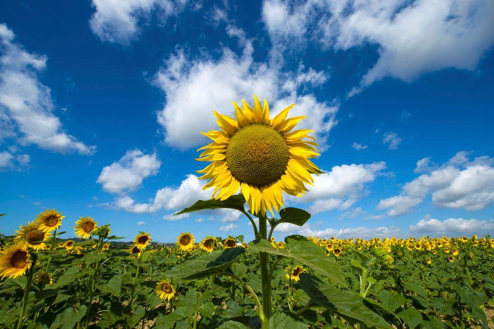 Photo in Landscape #sunflowers field clouds blu