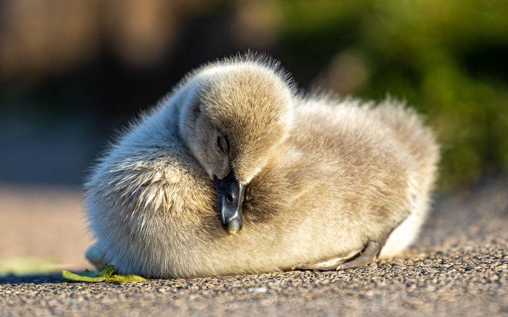 Photo in Animal #dawlish #black swans #cygnets