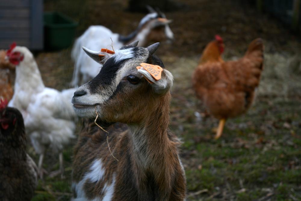 Photo in Animal #animal #goat #chicken