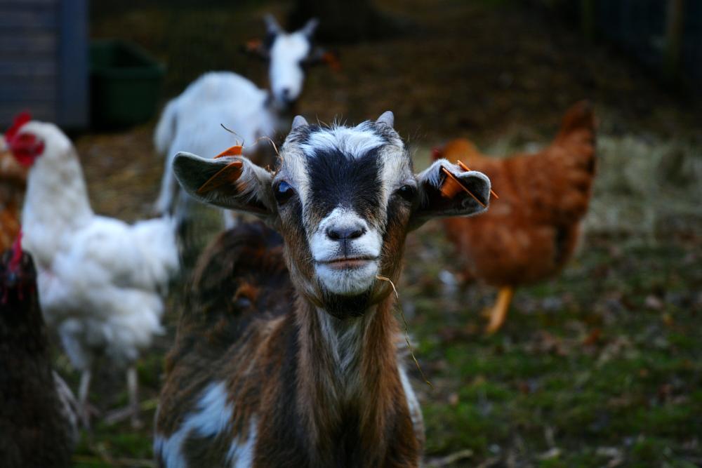 Photo in Animal #goat #animal #chicken