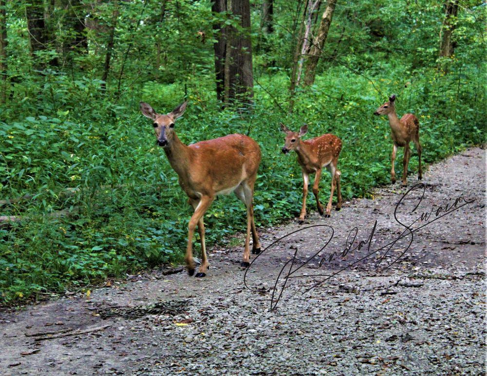 Photo in Animal #deer #doe #path #trees #nature #animals
