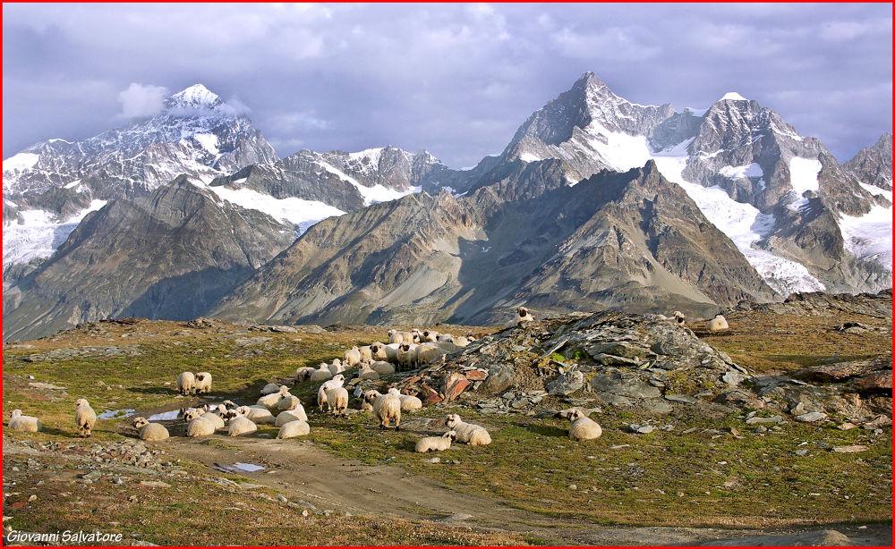 Photo in Random #alps #mountains #switzerland #sheep #zermatt #matterhorn