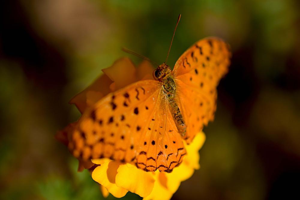Photo in Macro #flower #butterfly #common leopard
