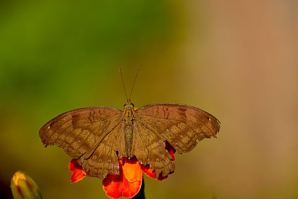 Photo in Macro #butterfly #insect #moth