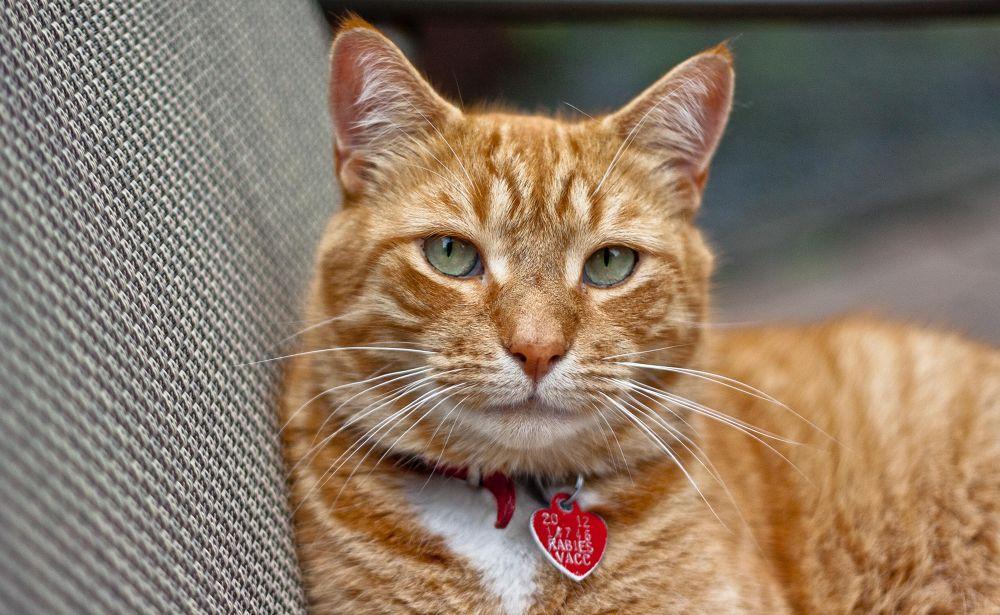 Photo in Animal #cat #tabbycat #orange #cute #feline