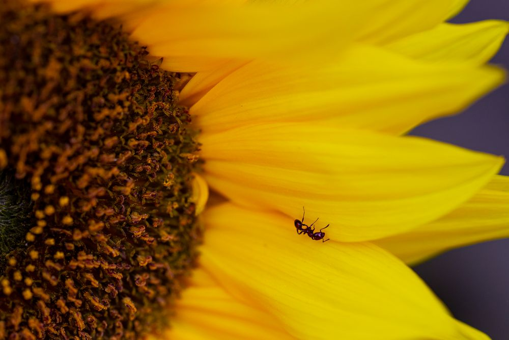 Photo in Macro #ants #insects #animals #nature #wildlife #sunflowers #flowers #gardens #youpic #photos #photography #macro #macrophotography #mini #miniature #tiny #canon #eos6d #sigma #nz #new zealand #summer