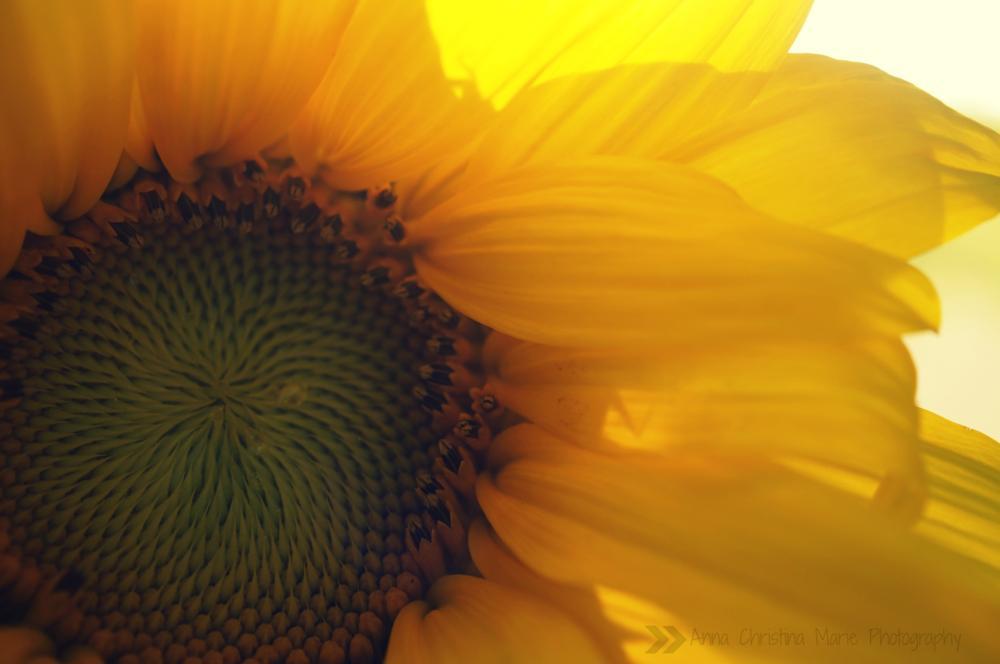 Photo in Macro #sunflowers #summer #yellow
