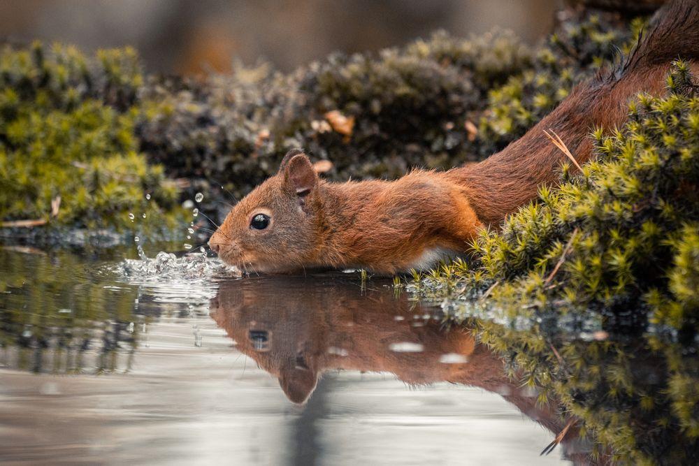 Photo in Animal #cute #squirrels #belgium #diepenbeek #limburg #daylight #colors #lockdown #corona #covid19 #lightroom #nikon #d500 #eekhoorn #dieren #animals #nature #earth #natuur