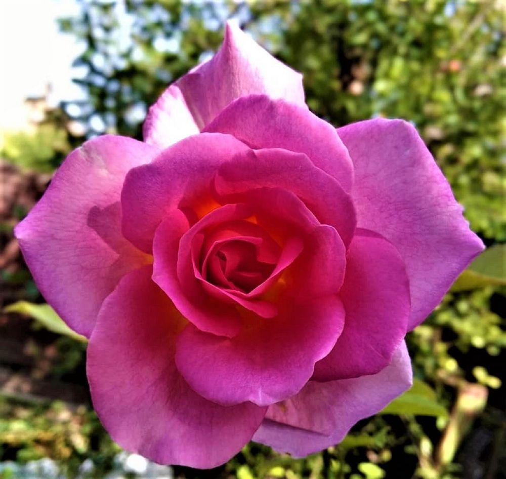 Photo in Nature #rózsaszín #rózsa #szép!