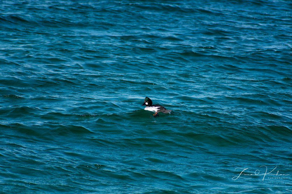 Photo in Nature #duck #bird #common goldeneye #water #lake #winter #lake ontario #toronto #canada