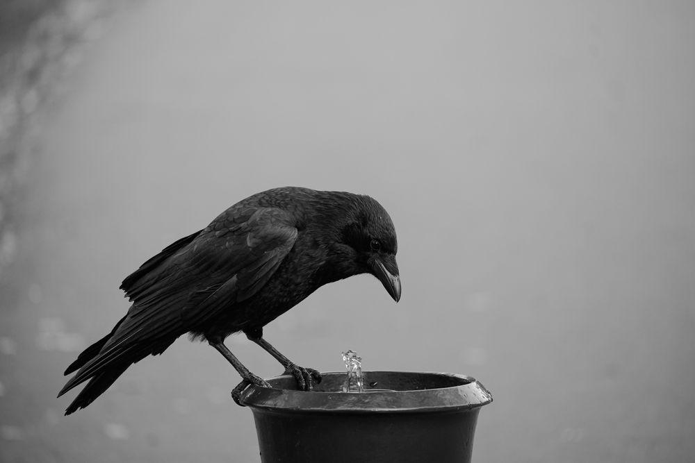 Photo in Still Life #crow #bird #black&white #animal #urban #nikon #nikonz50