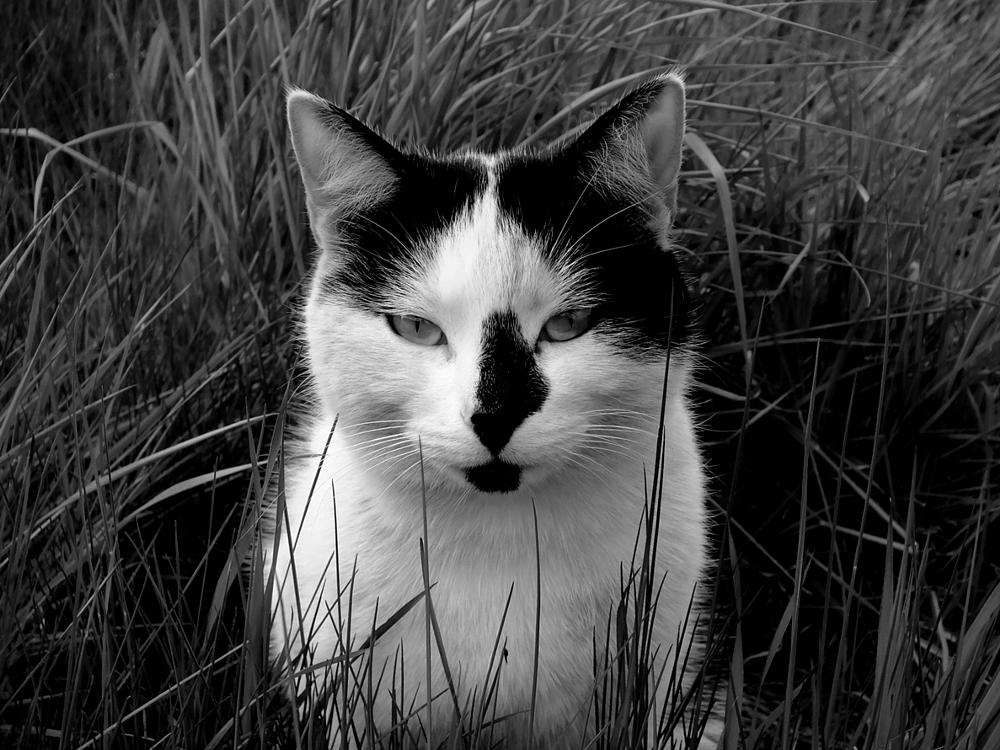 Photo in Black and White #cat #grass #pets #animals #black/white