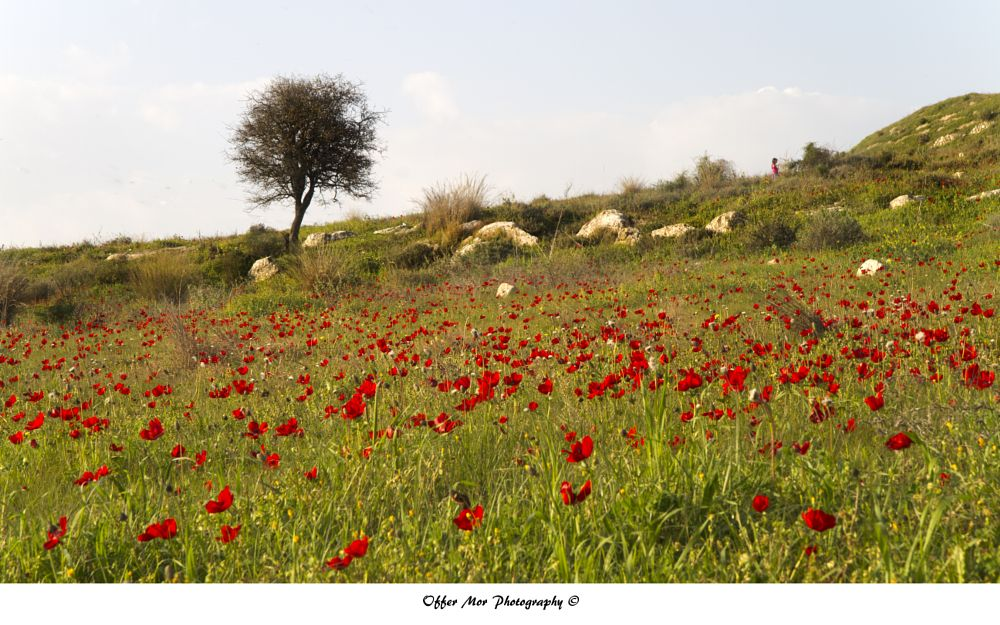 Photo in Nature #poppy #flower #field #nature #israel