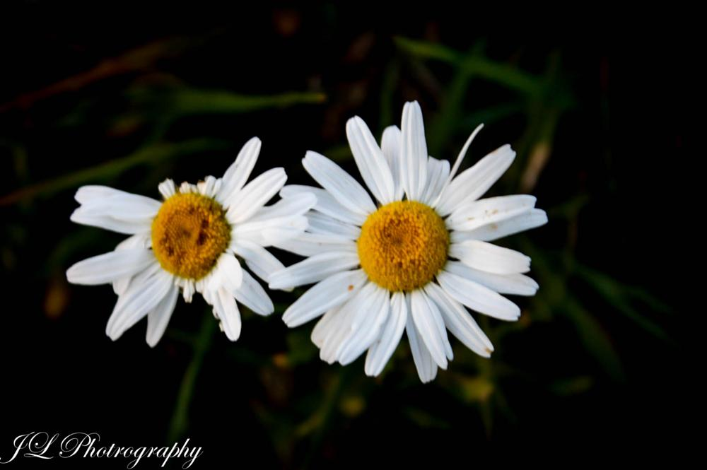 Photo in Nature #flower #beauty #nature #daisies #daisy