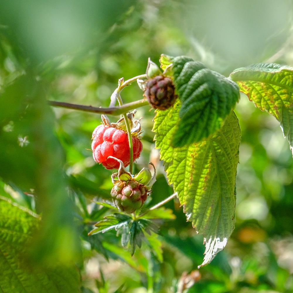 Photo in Nature #wild raspberry #taste so good #nature