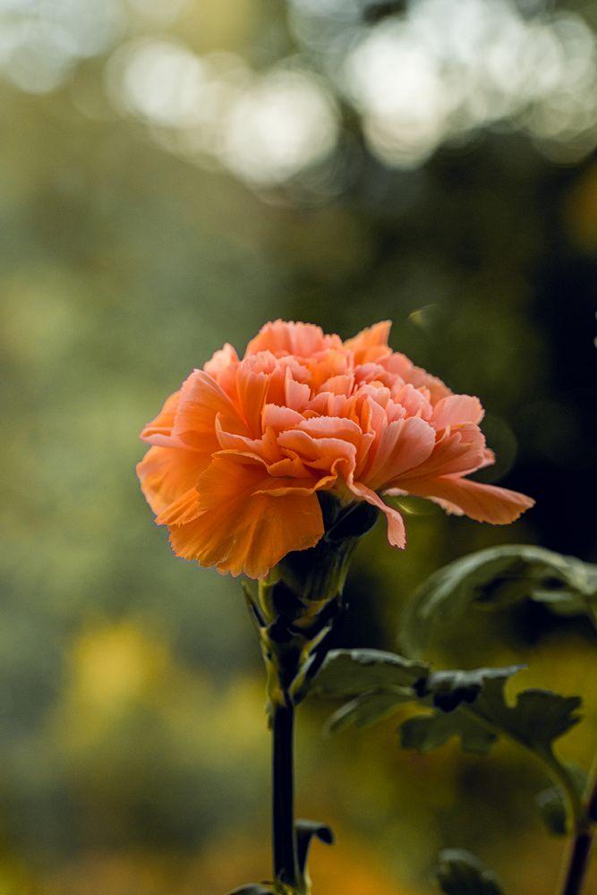 Photo in Nature #flower #petals #leaves #stem #bokeh