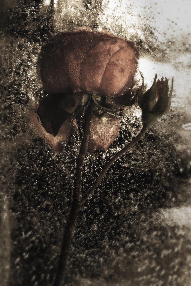 Photo in Fine Art #rose #ice #vintage #canon