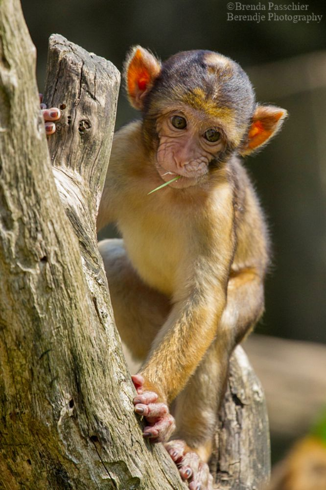 Photo in Animal #barbary macaque #macaque #primate #monkey #animal